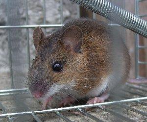ネズミの画像 p1_3